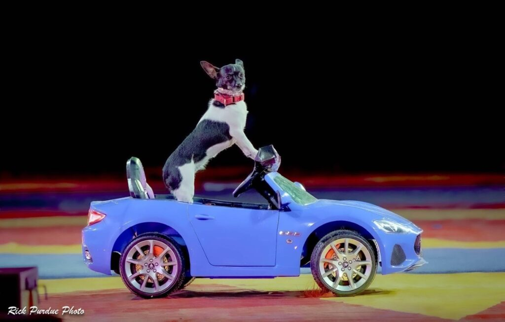 A dog driving a miniature car.